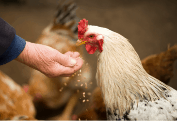 Fermented Feed: More For Your Money and Happier Hens