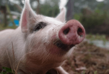 Getting a Pig on the Homestead: Part 2 of the Emotional Roller Coaster