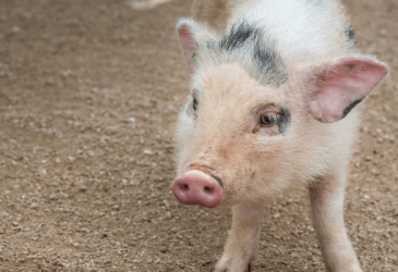 Getting a Pig on the Homestead: The Emotional Roller Coaster