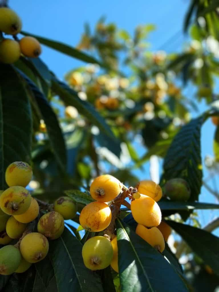 What are Loquats?: History, Appearance, Taste, Nutrition, and Climate