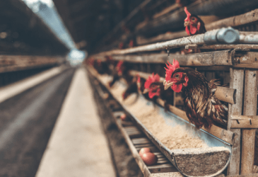 Raising Meat Chickens for Beginners (It's not that hard!) (1)