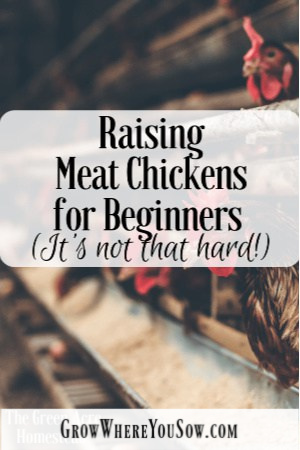 raise meat chickens for beginners