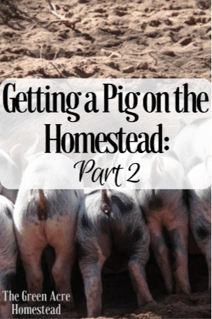 getting a pig on the homestead part 2