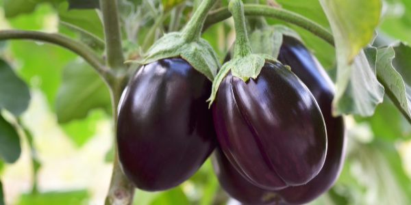 heat tolerant vegetables eggplant