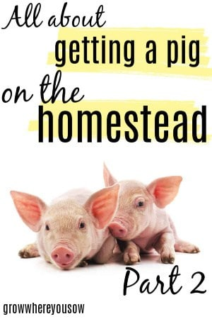 getting a pig on the homestead
