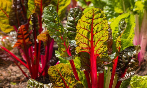 heat tolerant vegetables swiss chard