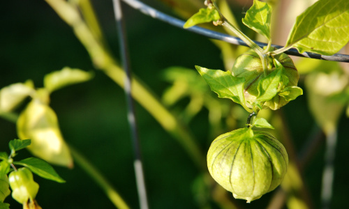 heat tolerant vegetables tomatillos