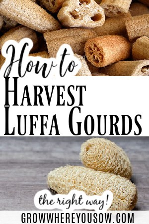 harvest luffa gourds