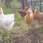 dixie rainbow chickens