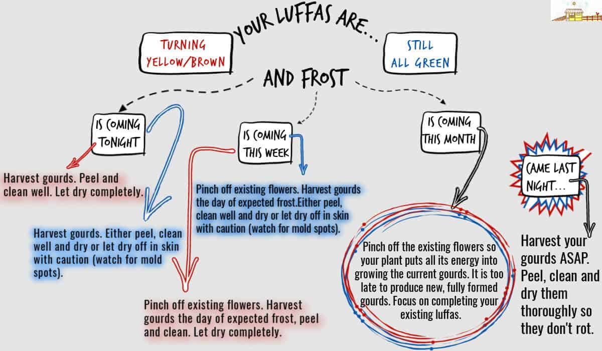 flow chart for harvesting luffas