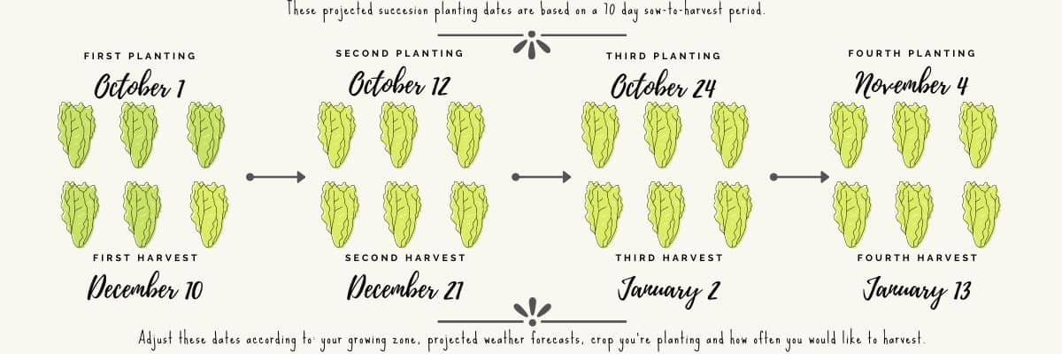 succession planting - romaine lettuce