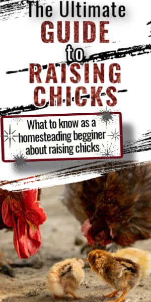 how to raise chicks on the homestead