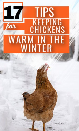 keeping chickens warm in the winter